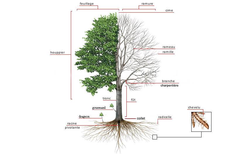 arbre bonsai intérieur