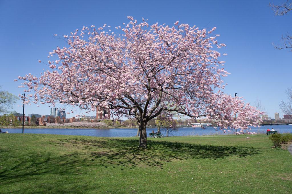arbre du japon