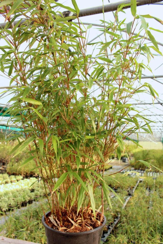 bambou rufa fargesia