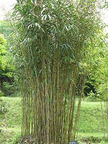 bambous fargesia rufa