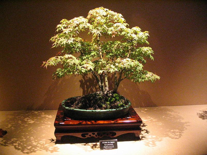 banzai arbre