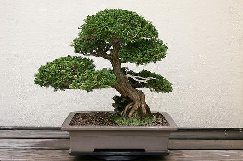 banzai arbuste