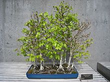 bonsai chene