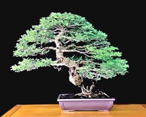 bonsai en ligne