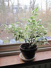 bonsai ficus entretien