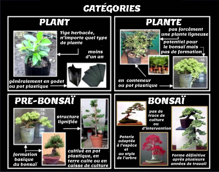 bonsai graine