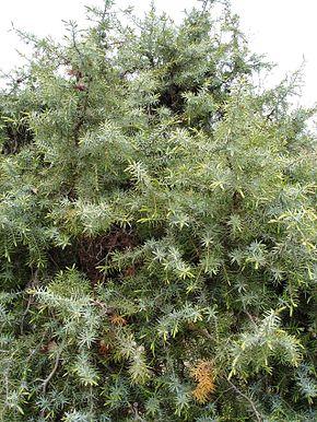 bonsai pin