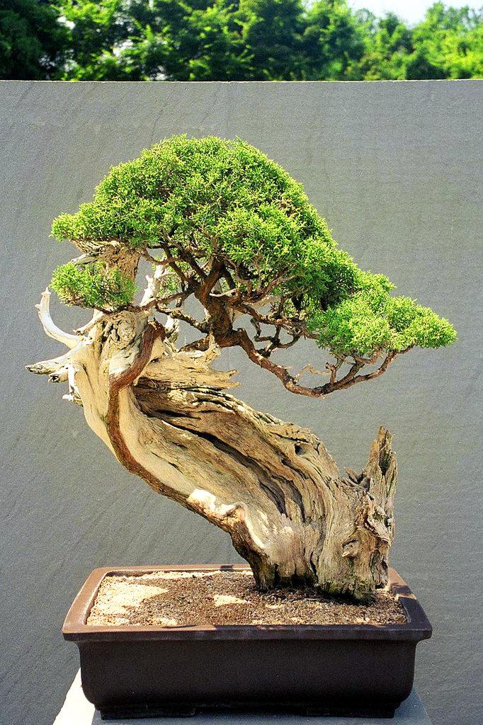 bonsai prix