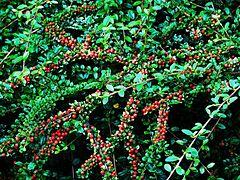 cotoneaster rampant