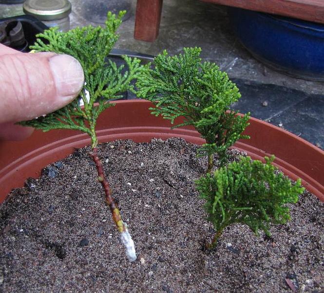 engrais bonsai