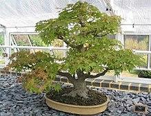 erable du japon bonsai