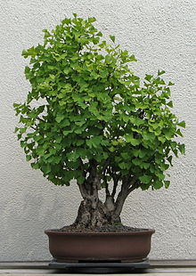 graine de bonsai