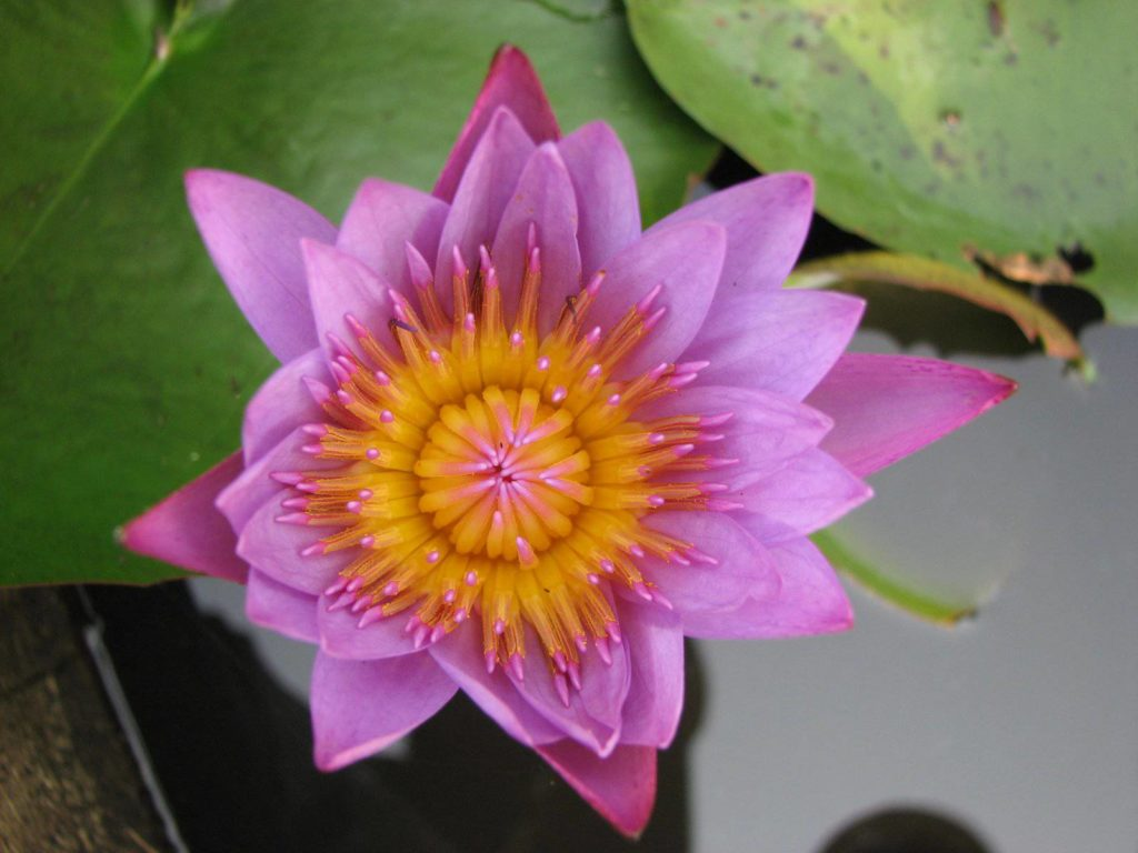graines de lotus