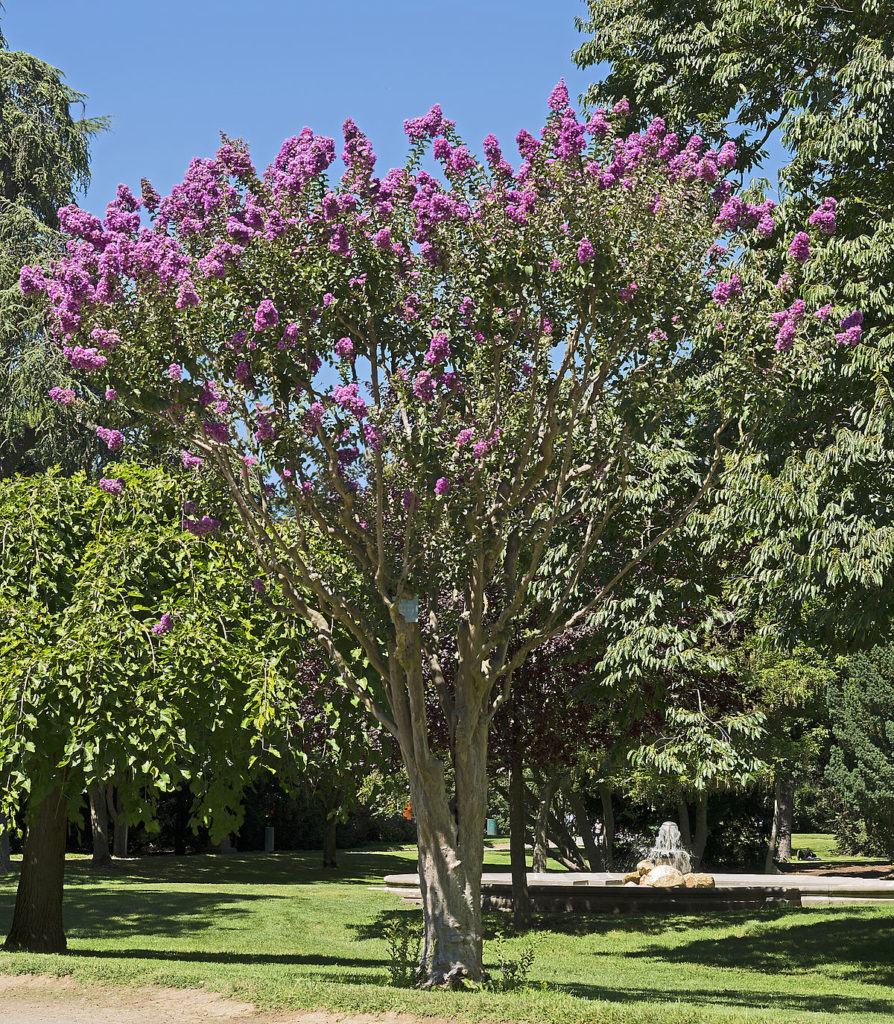 lilas des indes lagerstroemia indica