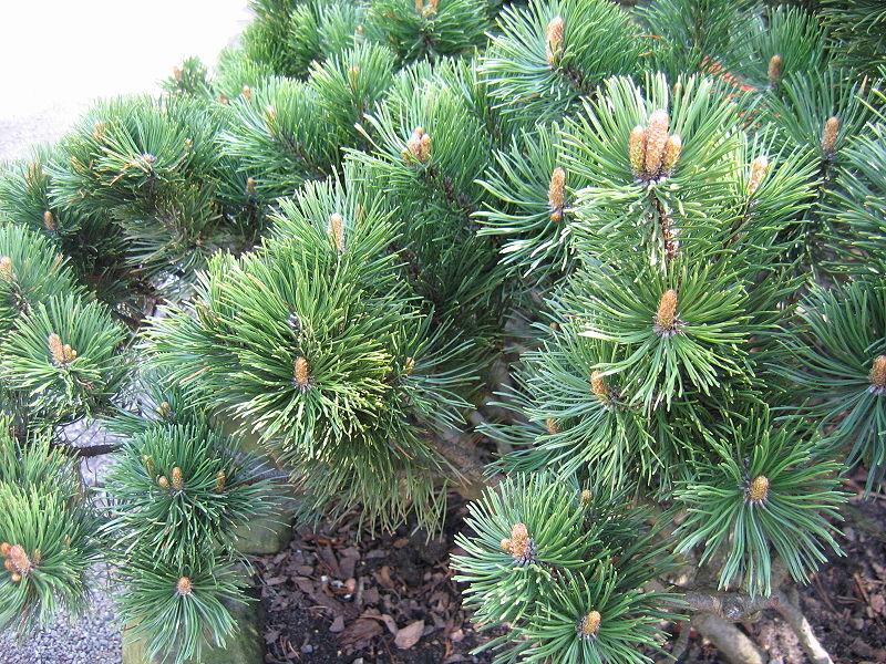 pin mugo bonsai