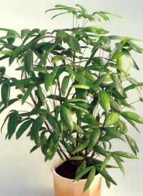 plante ficus intérieur