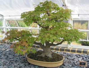 pot bonsai grande taille