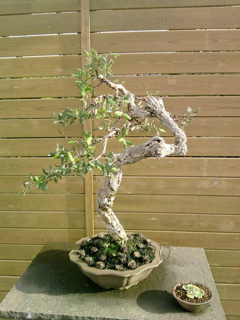 pot bonsai paris