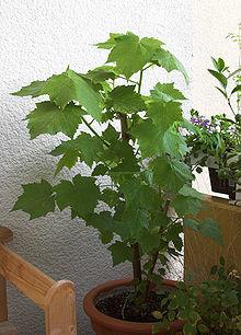 prix bonsai
