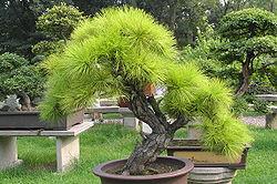 quelle terre pour un bonsai