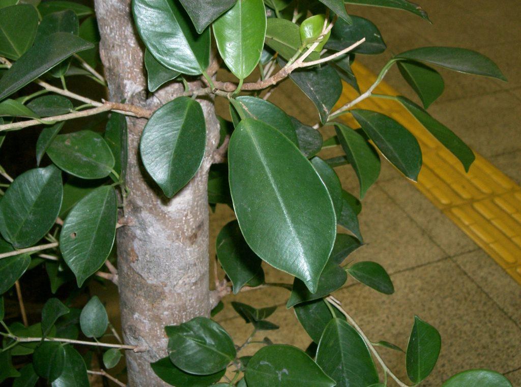 tailler un ficus bonsai