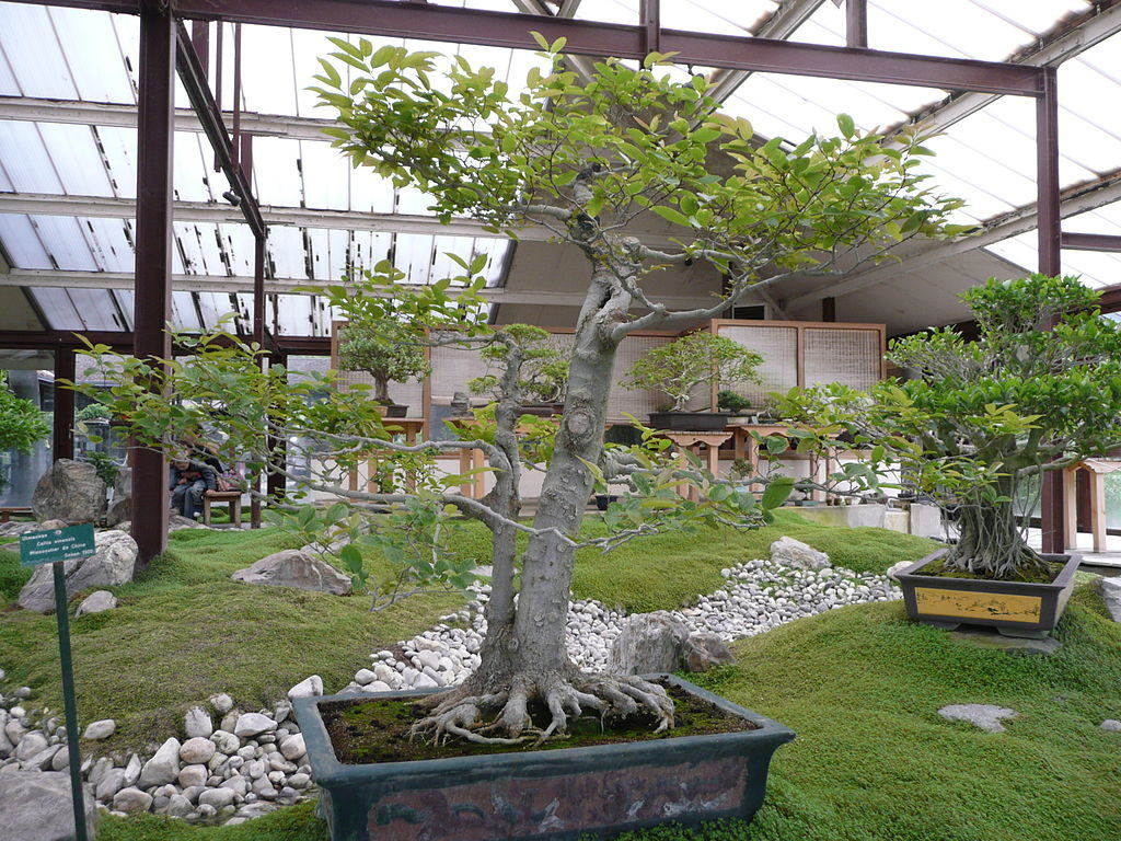 terre ficus bonsai