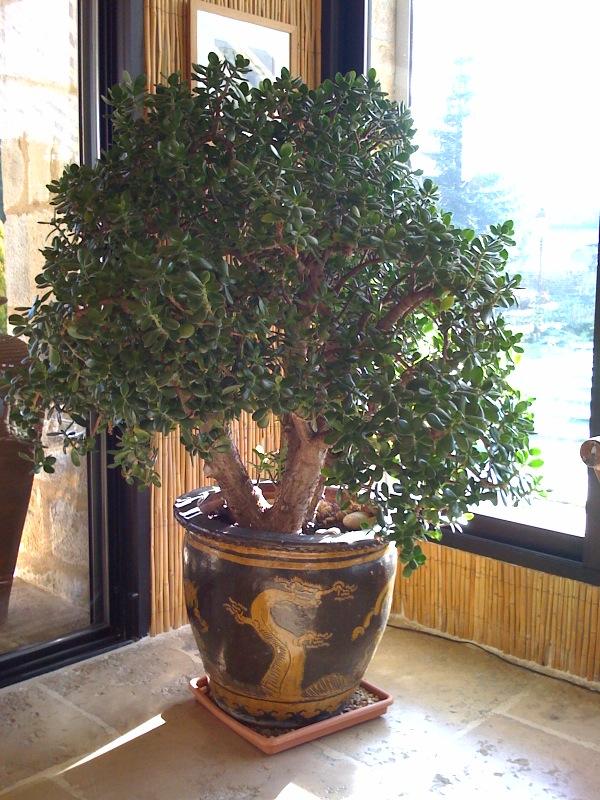 bonsai a fleur