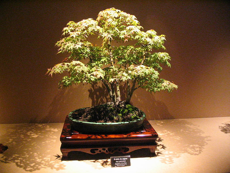 bonsai arbuste