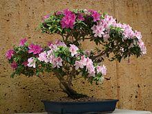 bonsai azalee