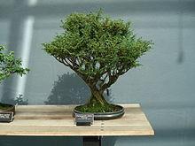 bonsai paris 15