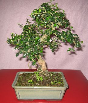 bonsai poivrier