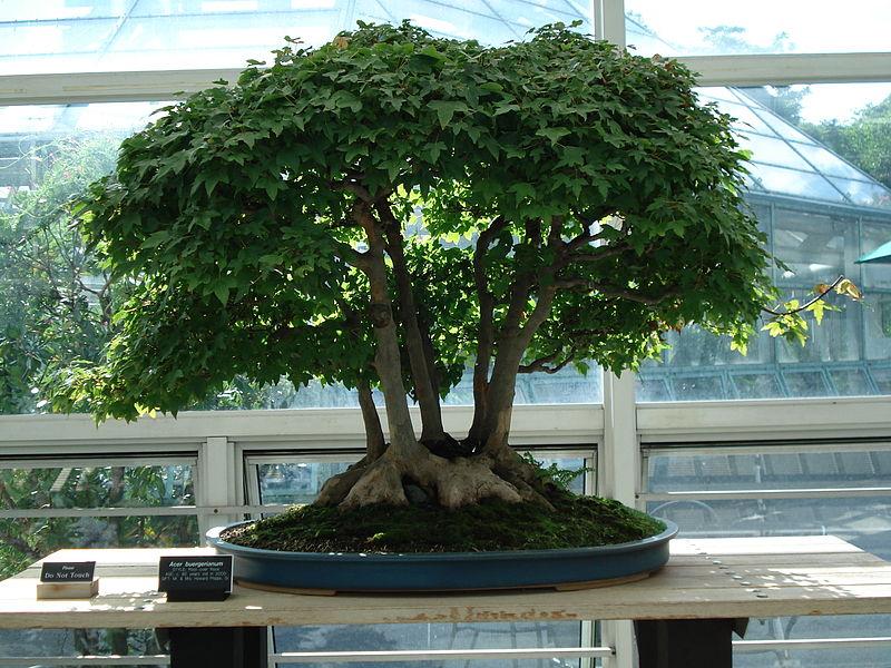pots bonsai grande taille