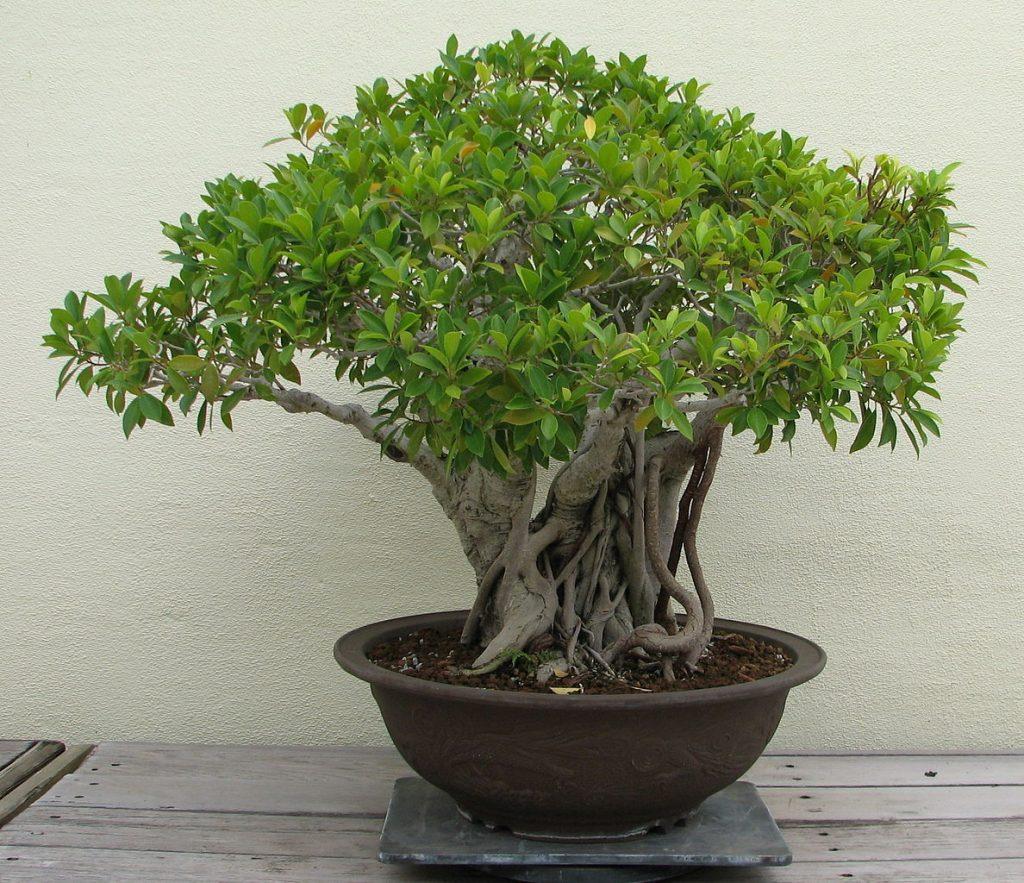 bonsai ficus ginseng perd ses feuilles