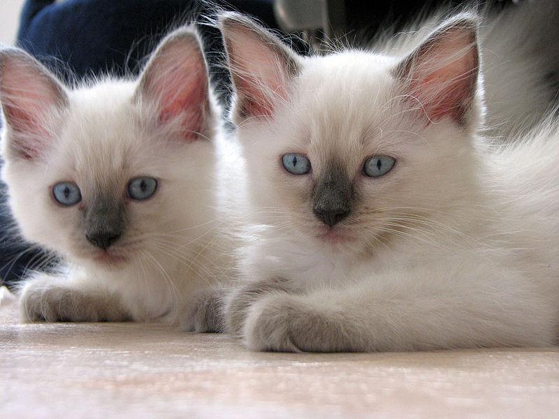 chaton ragdoll a adopter