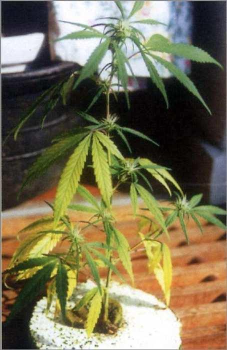 engrais floraison weed