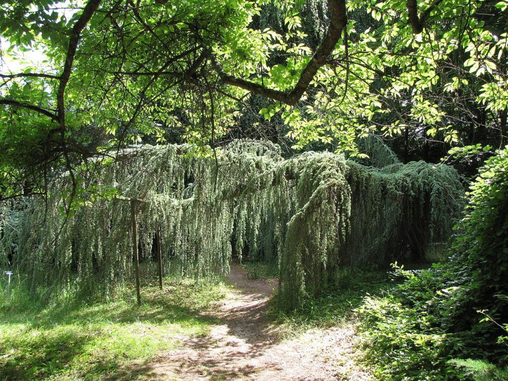 genévrier rampant juniperus horizontalis
