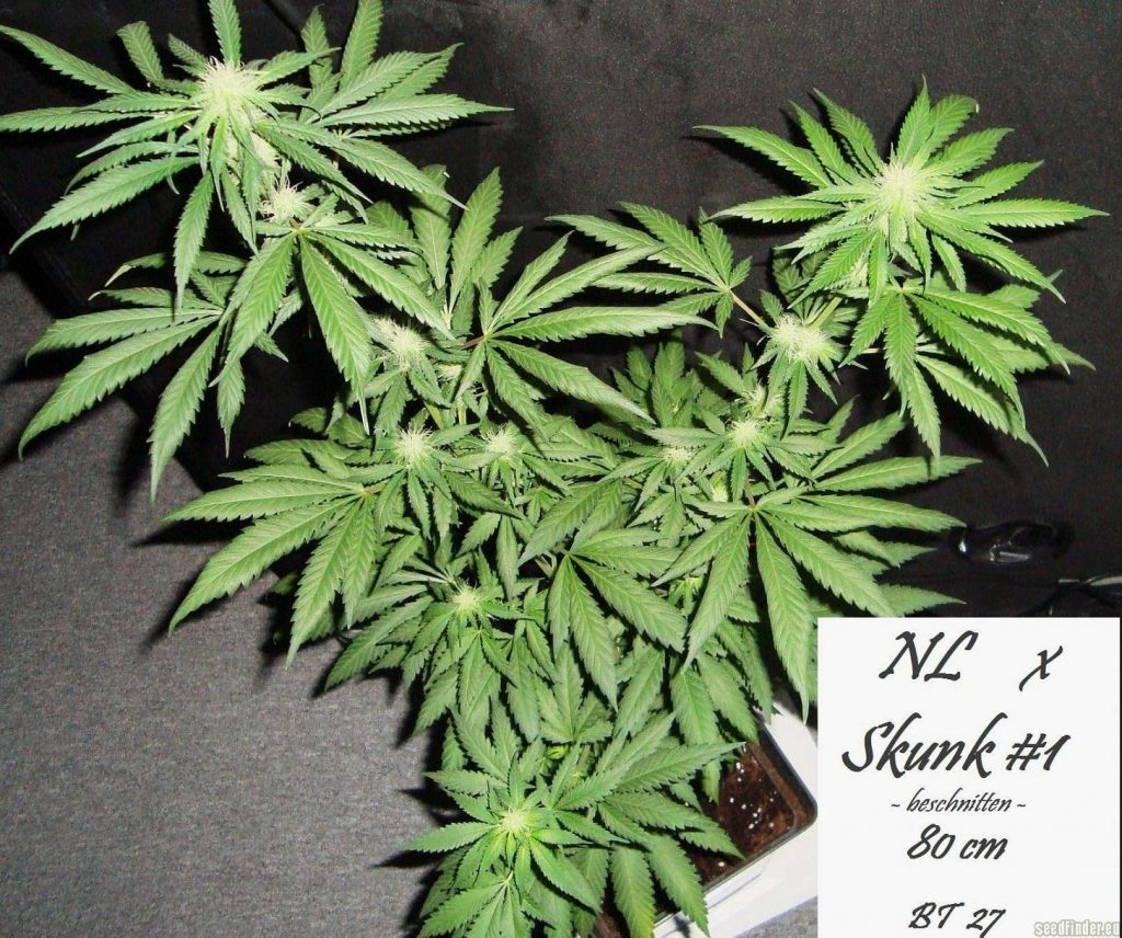 plants de cannabis