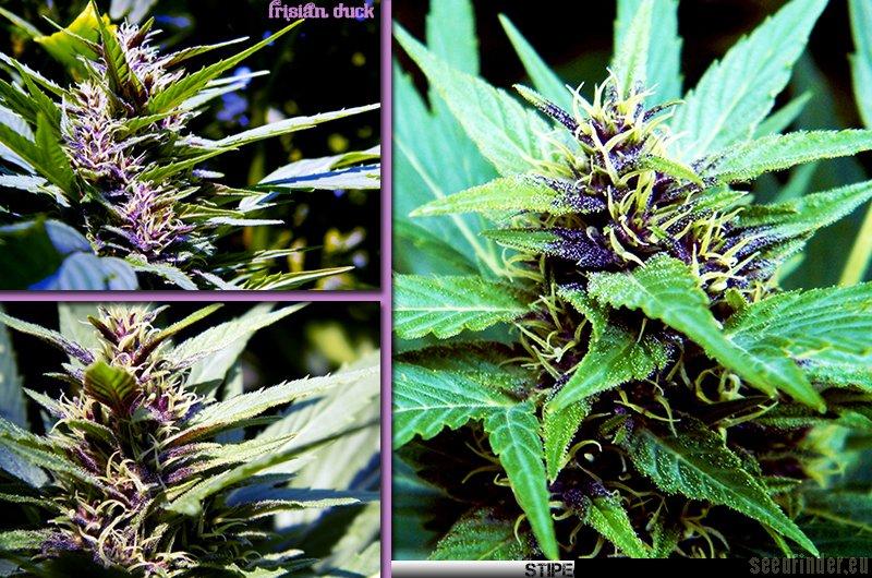 comment pousse le cannabis