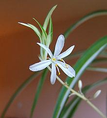 fleurs blanches d'interieur