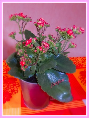 fleurs d'appartement qui fleurit