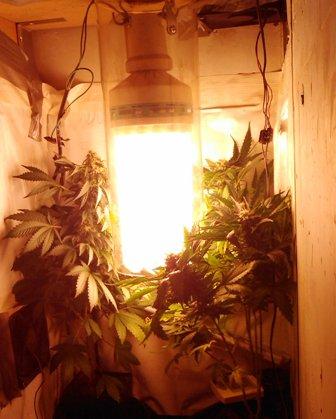 lampe floraison cannabis