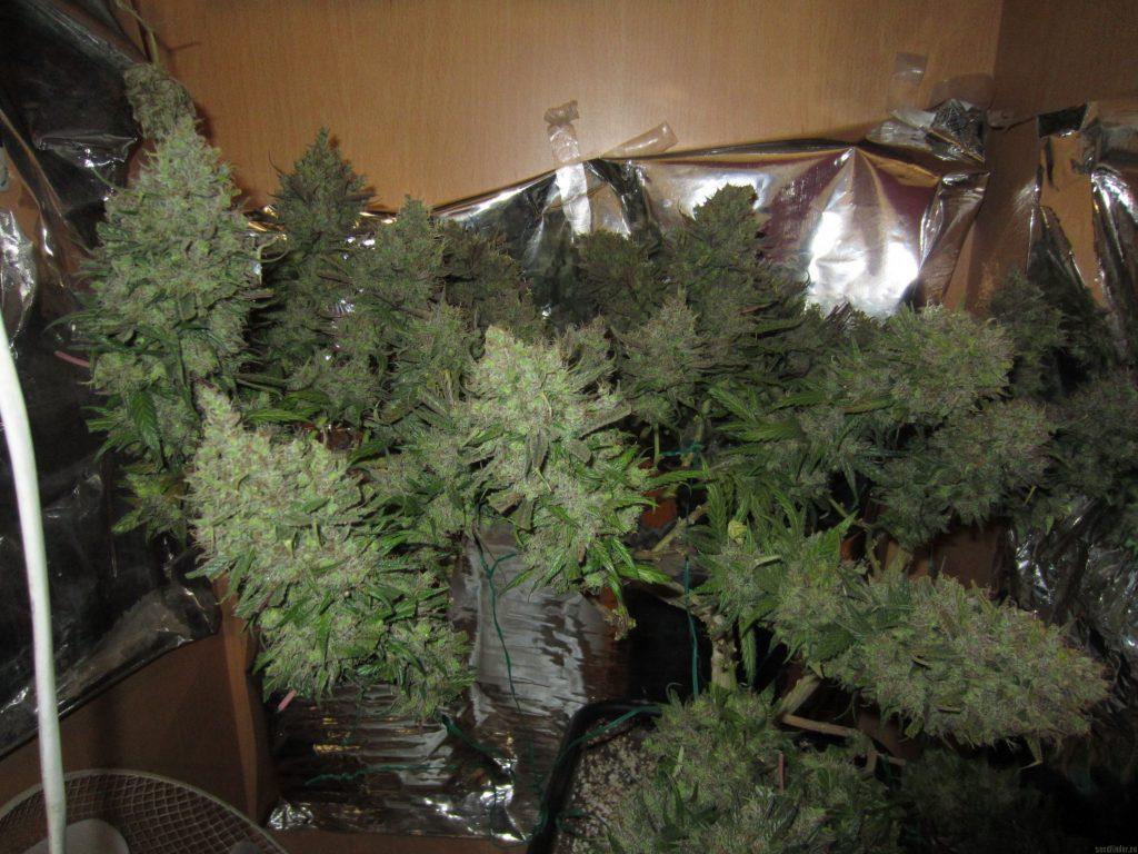 panneau led cannabis