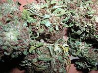 taille des plants de cannabis