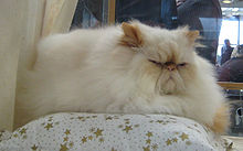 chaton ragdoll a vendre