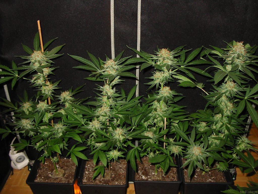 culture cannabis auto floraison intérieur