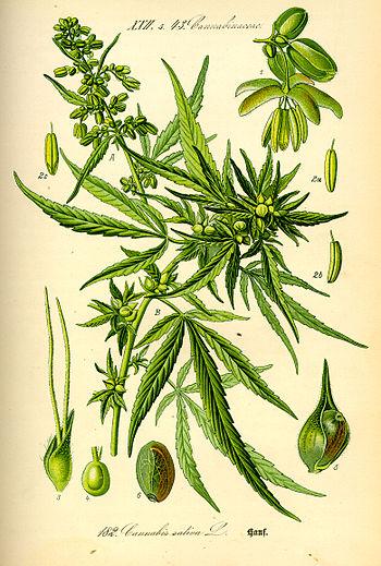 culture intérieur cannabis en terre