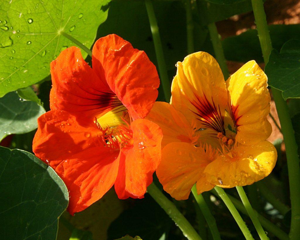 plante a grosses fleurs rouges