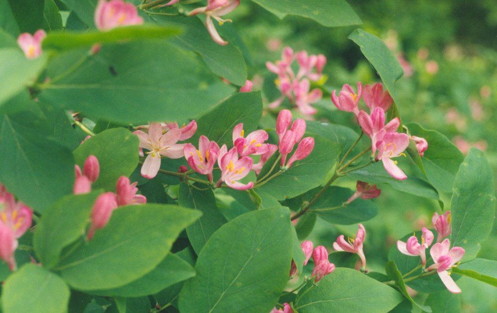 plante fleurie rose