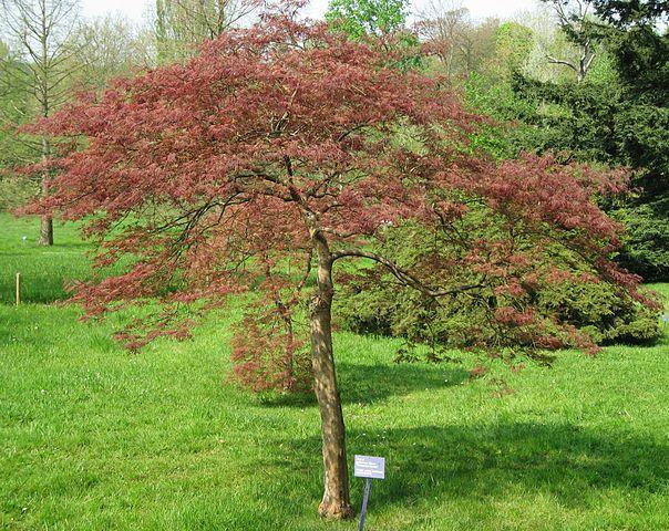 prix d'un cerisier a planter