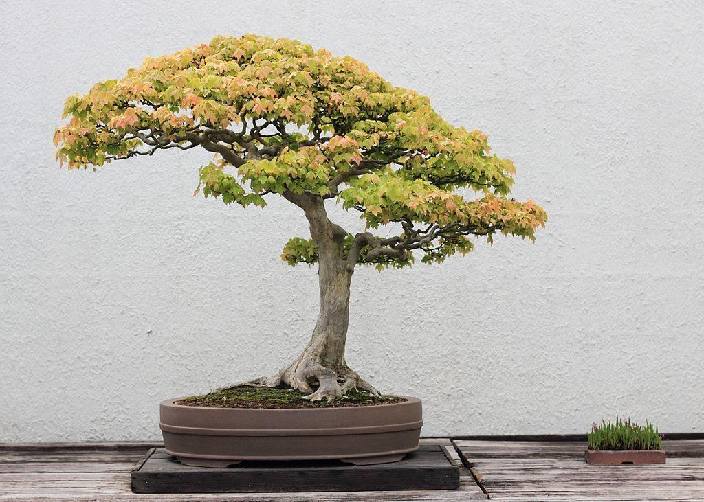 quelle terre pour bonsai